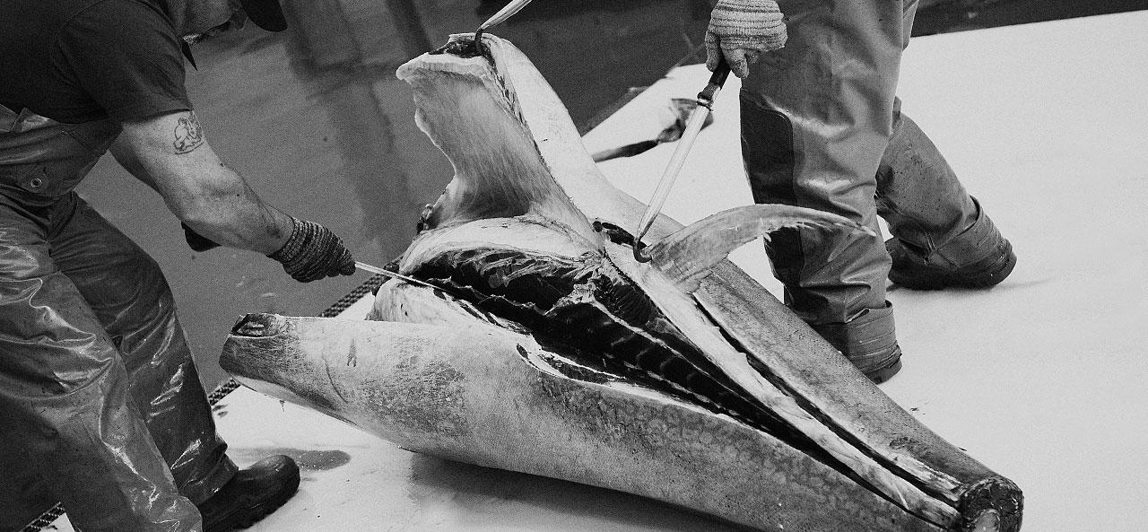 Ronqueo atún rojo