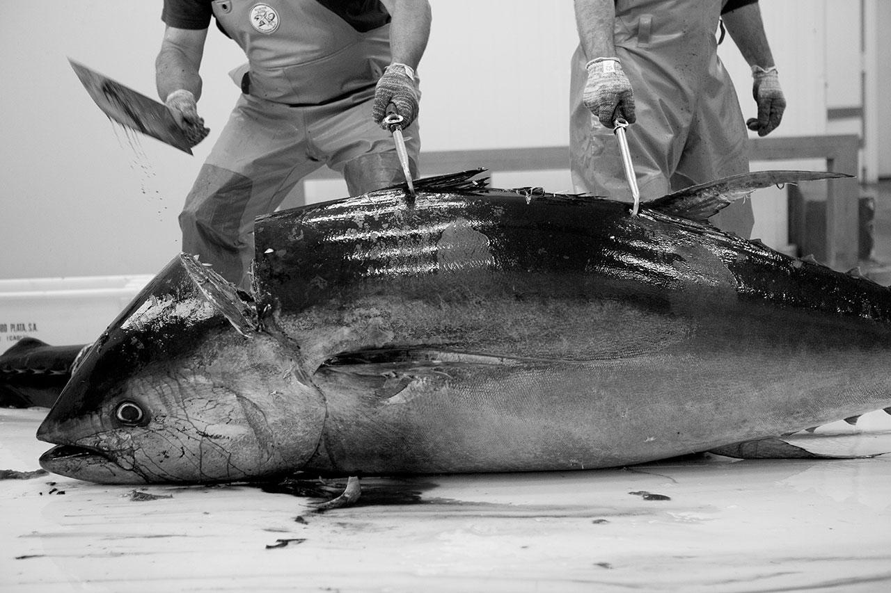 Ronqueo del atún rojo salvaje de almadraba